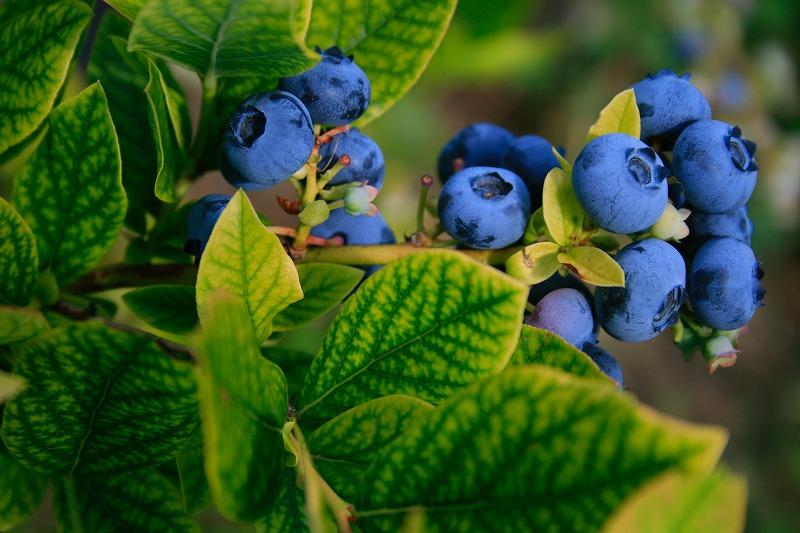 blueberryの画像