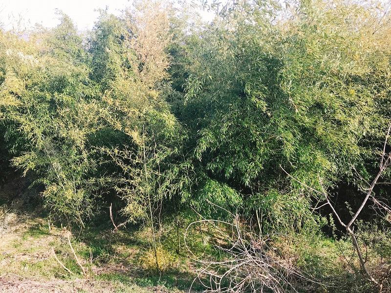 竹やぶの画像