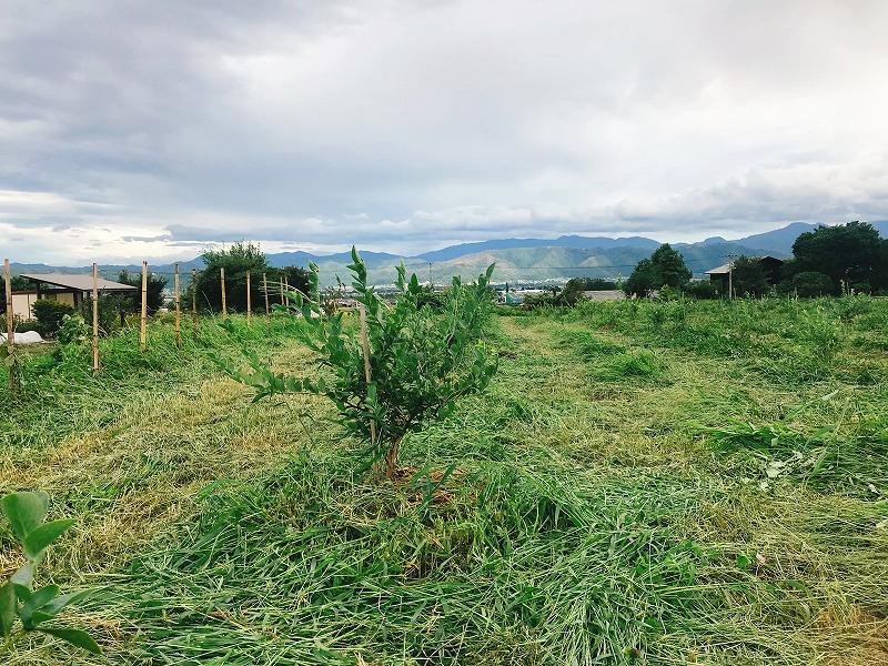 ブルーベリー畑の様子